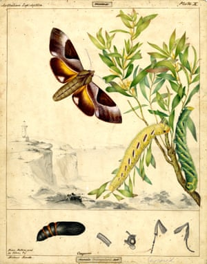 Double-headed hawk moth by Helena Forde (Scott)
