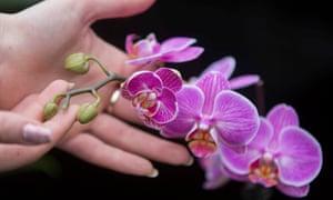 Phalaenopsis 'Love Letter'