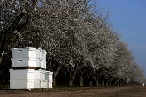 Beehives stand stacked along a blooming almond orchard near Shafter, in California. The bees pollinate many crops, including almond trees in February, and are essential to the food chain.