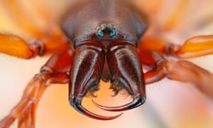 The woodlouse spider has jaws designed for crunching …