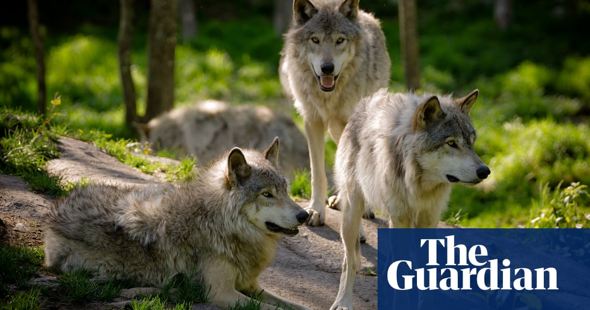 Wisconsin hunters kill 216 wolves in less than 60 hours, sparking uproar