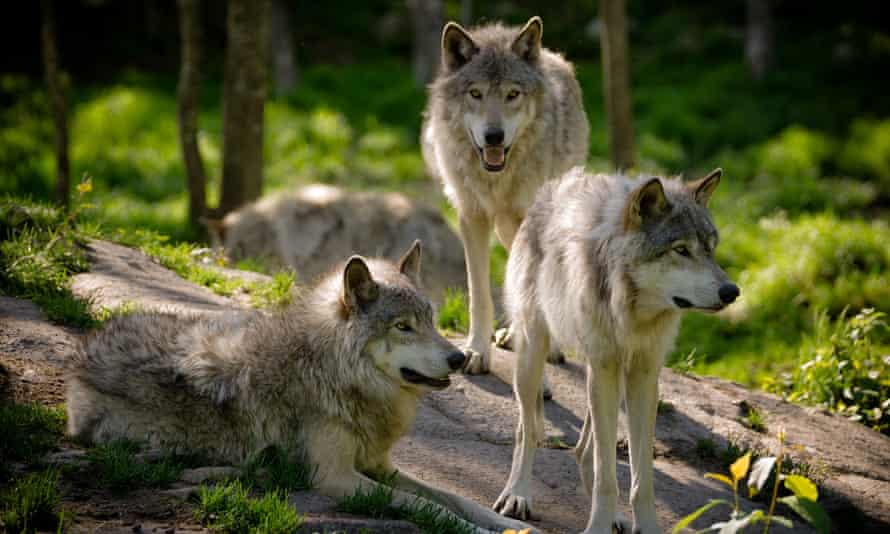 Gray wolves in the North American wilderness.
