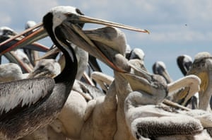 A pelican feeds its young during a census carried out by the National Forestry Corporation (CONAF) on Cachagua Island in Zapallar, Chile.