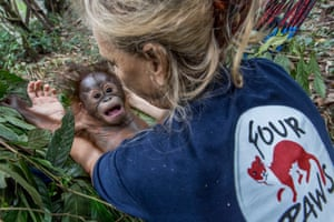 Gonda, a rescued orangutan orphan, is cradled by Signe Preuschoft, the founder of Four Paws Forest School. The animal is learning various life skills in preparation for an eventual return to the wild in Borneo, East Kalimantan, Indonesia
