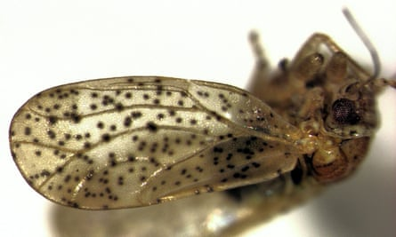 The Psylla frodobagginsi has been mistaken for the Psylla apicalis (pictured) for decades, but researchers have determined that they are two distinct species.