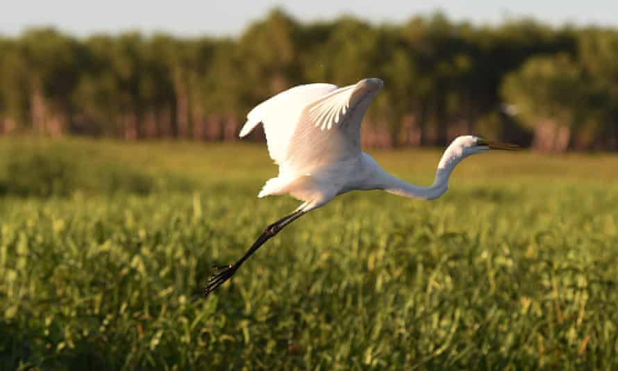 An intermediate egret takes flight in Yellow Water billabong in the world heritage-listed Kakadu national park in Australia's Northern Territory