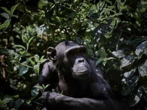 Gari, a rescued chimpanzee, waits for feeding time at his enclosure at Lwiro Primate Centre. Gari survived capture by poachers for sale into the pet trade, but some of his family were killed and sold for bushmeat