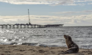 A lone sea lion sits on the sand north of the pier in Seal Beach on 4 February 2019.