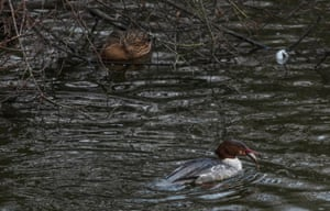 Brown duck and common merganser