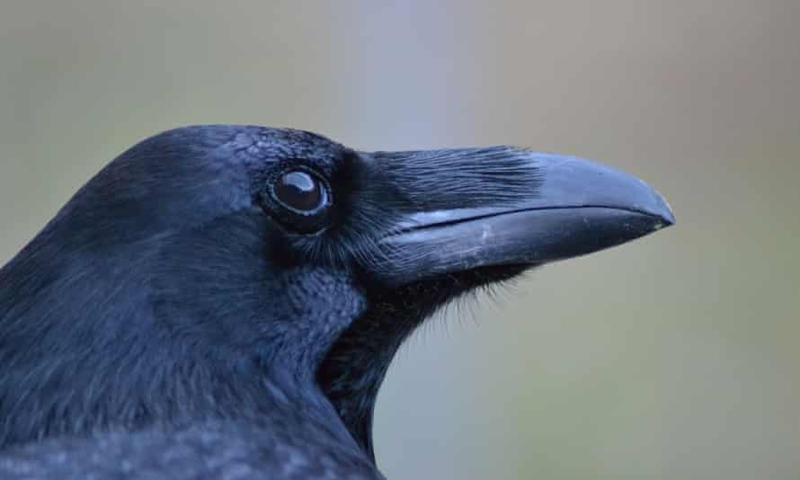 The captive ravens in the study were tested on two tasks: using tools and bartering with humans.