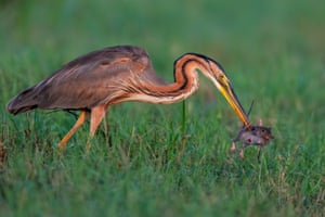 In northern Italy in late summer, prior to migrating south, the region's purple herons try to feed as much as possible and take advantage of the abundance of prey present in the rice fields.