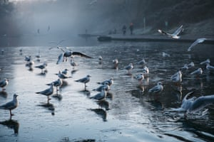 Black headed gulls stand on a frozen lake in Eastville Park, Bristol