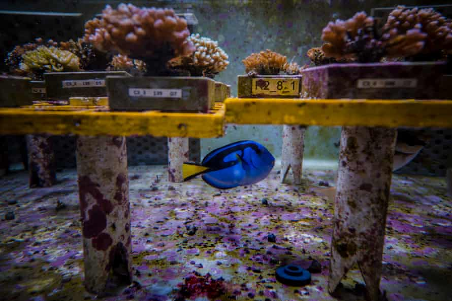Corals in tanks at Aims research facility in Townsville, Queensland