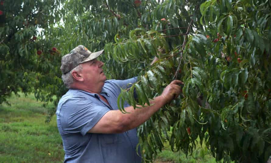 Bill Bader surveys his peach trees for damage he says is from illegal use of the herbicide dicamba in 2016.
