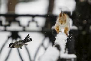 A tomtit bird flies past a squirrel running on a snowy fence in Almaty, Kazakhstan
