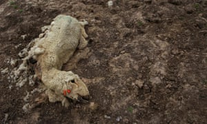 The remains of a dead sheep by the edge of a dry dam near Longreach, Queensland.