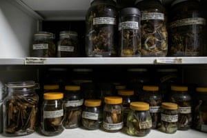 Preserved bats that were captured from the wild are stored in jars