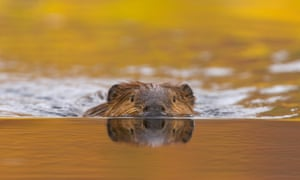 As climate change affects Alaska, beavers have moved into the Arctic Circle, damming more than 50 streams.