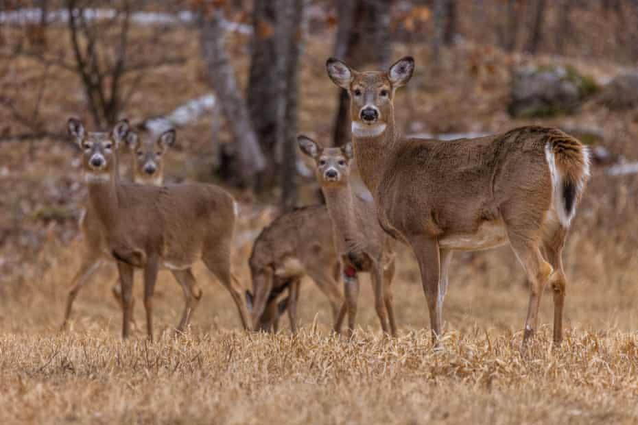 White-tailed deer herd in Wisconsin.