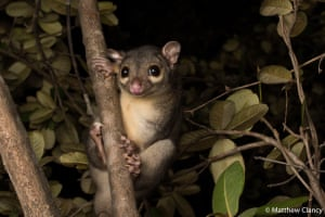 Matthew Clancy's portrait of a scaly-tailed possum was the runner-up in the animal portrait category. He says: 'Emerging upon nightfall from their rocky lairs, the shy and solitary scaly-tailed possums (known as yilangal by the Wunambal Gaambera people of remote north-western Australia) hang from their specialised prehensile tail to reach food and forage throughout the structurally complex monsoon forest and vine-thicket habitat.'
