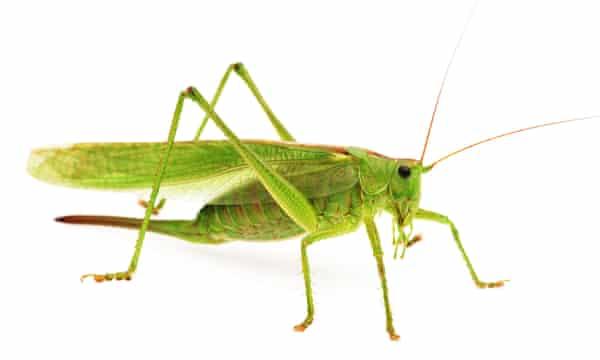 Green grasshopper isolated on white background