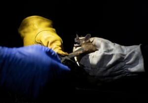 Researchers from Brazil's state-run Fiocruz Institute shine a light on a bat they captured in the Atlantic Forest during a nighttime outing in Pedra Branca state park, near Rio de Janeiro. The outing was part of a project to collect and study viruses present in wild animals - including bats, which many scientists believe were linked to the outbreak of Covid-19