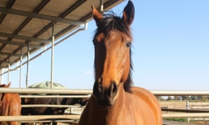 A young thoroughbred at the Echuca saleyards