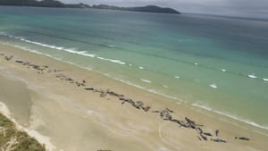 Dead pilot whales on a remote beach on Stewart Island in the far south of New Zealand. Up to 145 pilot whales have died in a mass stranding.