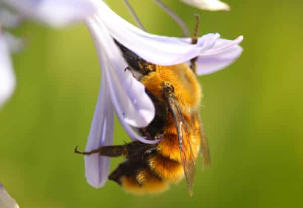 The Bombus dahlbomii can be recognised by its golden fur.