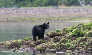 Black bear standing on rocks at low tide with green seaweed Tofino, British Columbia, Canada