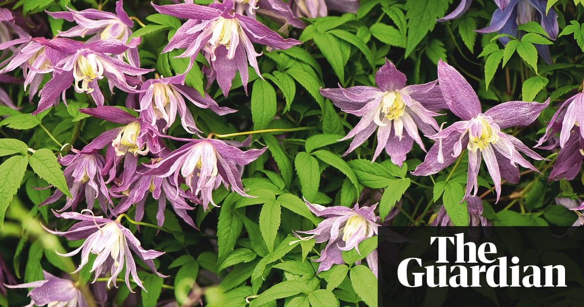 How to grow spring flowering clematis alys fowler life and style clematis macropetala mightylinksfo