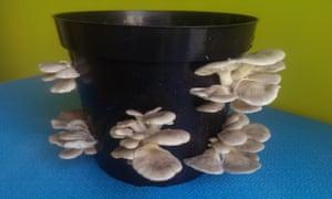 Oyster mushroom kit from Gourmet Mushrooms.