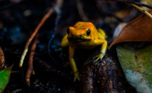 A golden poison frog at the Santa Fe zoo, in Medellin, Colombia
