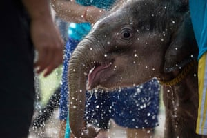 The baby elephant is splashed with water before being lowered into the therapy pool