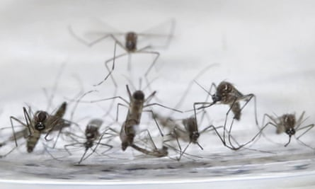 Six mosquitoes lined up on a cloth, with a seventh on top