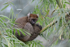 The greater bamboo lemur (Prolemur simus) is found only in isolated pockets of Madagascar's eastern rainforests. Once thought to be extinct, it was 'rediscovered' in 1986 in the Ranomafana region. Threatened by habitat destruction and hunting, it has been the subject of intense conservation measures, including work with local communities, and these have had positive results.