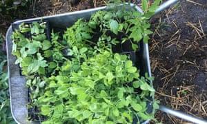Sweet peas and tomato  plants in a wheelbarrow