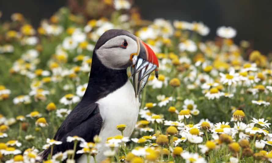 A puffin with sandeels.