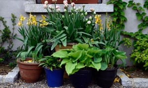 Pots of hostas, tulips grouped together