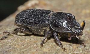 A male rhinoceros beetle.