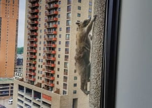 A raccoon climbs a 25-storey office tower in St Paul