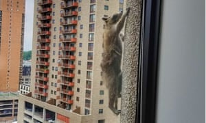 A daredevil raccoon became an online sensation when it spent almost 20 nail-biting hours scaling a 25-storey office tower in Minnesota.