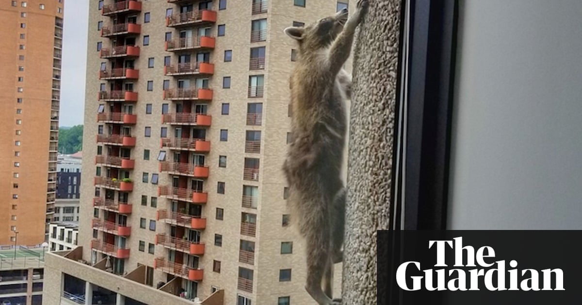 Internet on edge as daredevil raccoon scales Minnesota skyscraper