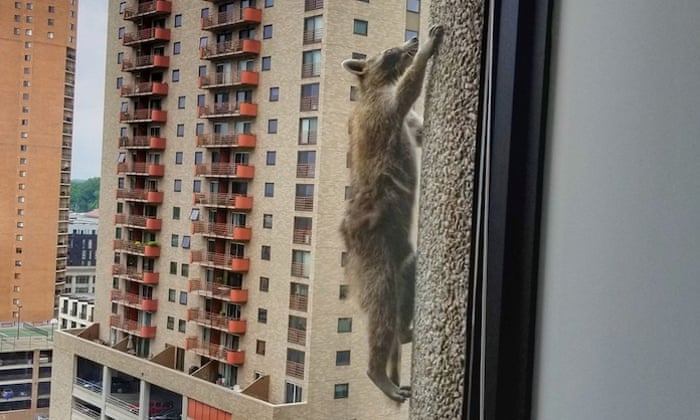 Raccoon released into wild after successful skyscraper climb