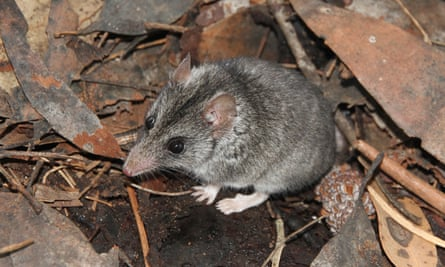 a small brown furred mouse like marsupial