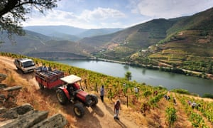 Harvest at an Alto Douro vineyard, Portugal.