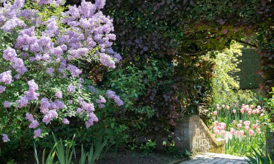 Buddleia in bloom at Hidcote Manor Garden.