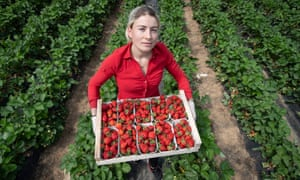 A Romanian worker collecting strawberries in Wallau, central Germany.