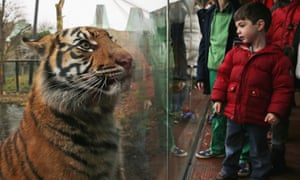 A Sumatran tiger looks at visiting children from it's enclosure at London Zoo.