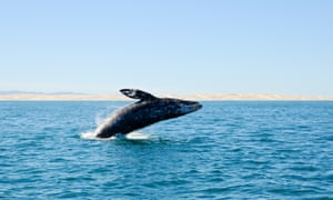 San Ignacio's lagoon is a sanctuary and breeding ground for the grey whale. A grey whale surfaces on a blue sky day.